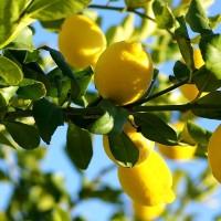 Bibit / Benih / Seed Buah Jeruk Lemon Import