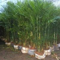 Jual palem komodoria, tanaman bisa untuk indoor