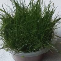 Jual Hair grass (HG mini) tanaman karpet aquascape Murah
