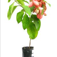 Tanaman Bunga Mussaenda Pink