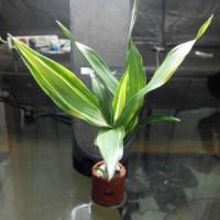 jual tanaman aquatic jenis sri rejeki