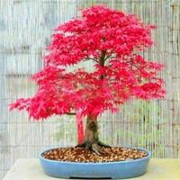 benih/biji/bibit Beautiful Japanese Red Maple