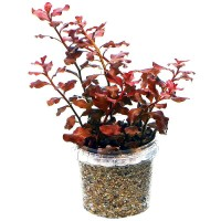 tanaman aquascape ludwigia sp red