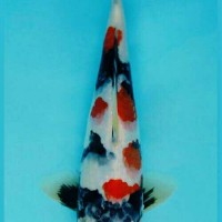 koi Showa Tategoi 23 cm (high quality)