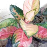 bibit bunga aglonema red cochin