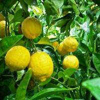 Jual Bibit Tanaman Buah Jeruk Lemon Tea Murah