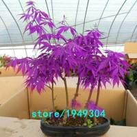 Jual Biji Benih Purple Maple Kanada - Import Murah