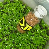 Bibit Magic Seeds Aquascape