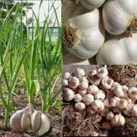biji/benih/bibit tanaman bawang putih