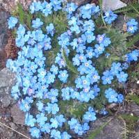 bibit Bunga Miosotis Alpestris Flower Forget me Not Jangan Lupakan A