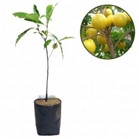 Paket Bibit Abiu - Sawo Australia - Bibit + Planter Bag 25L