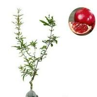 harga Tanaman Buah Delima Merah / Red Pomegranate Tokopedia.com