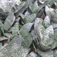 sansivera kodok hijau
