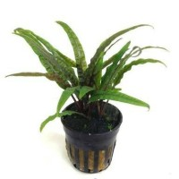 tanaman Aquascape cryptocoryne balansae
