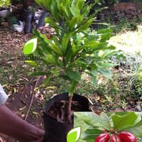 Bibit Tanaman Miracle Fruit I Miracle Berry I Synsepalum Dulcificum