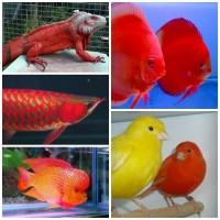 CAROPHYLL RED DSM 5g ,Untuk Louhan,Arwana,iguana dll