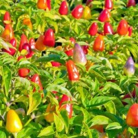 Benih / Bibit Cabai Multiwarna (Bolivian Rainbow Pepper) - IMPORT