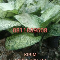 Tanaman Sri Rejeki Dieffenbachia Green Beauty Aglaonema Anggun Ayu