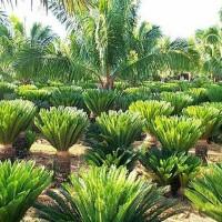 Pohon Palm Sikas Besar / Pakis Haji