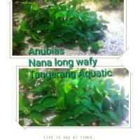 JUAL ANUBIAS NANA LONG WAFY 10-12DAUN TANAMAN AQUASCAPE LONG WAFY