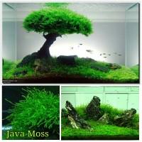 Moss Java Bahan Membuat Bonsai Ataupun Karpet Aquascape