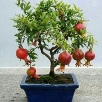 Jual Bibit Tanaman Buah Delima Mini (Mini Red Pomegranate) Murah