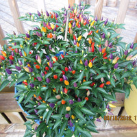 Benih Cabe Rainbow Razzamatazz Pepper Chili Cabai Unik Mudah Tumbuh