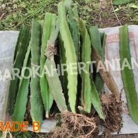 Jual Bibit Buah Naga Merah Super dari Banyuwangi (GRADE B - berakar) Murah
