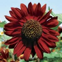 Jual Benih Biji Bunga Matahari Merah Sunflower Red Velvet Import UK Murah