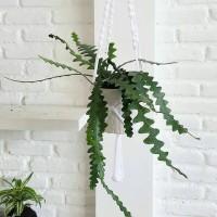 wijaya kusuma keris - tanaman gantung - fish bone cactus