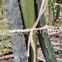 Jual Bibit Buah Naga Hitam Super dari Banyuwangi Murah