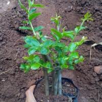 Jual Bibit Pohon Bunga Sakura Bungur | Tanaman Hias Bunga Sakura Bungur Murah