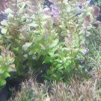 tanaman aquascape rotala macrandra type 3 / macrandra green