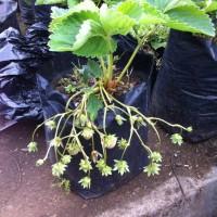 Jual bibit benih tanaman strawberry stroberi california sudah berbunga Murah