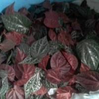 daun sirih merah segar 1kg