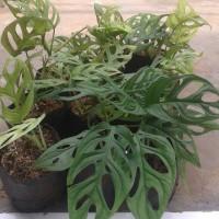 tanaman janda bolong / philodendrum swiss/ monstera
