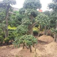 bonsai beringin korea / jual bonsai unik
