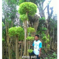 tanaman bonsai anting putri