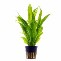 tanaman Aquascape echinodorus amazon sword