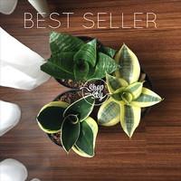Jual Baby Sansevieria / Lidah Mertua  Mini di pot tanaman pembersih udar Murah