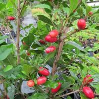 Bibit Tanaman Buah Ajaib Miracle Fruit