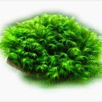 moss fissiden di batu tanaman Aquascape