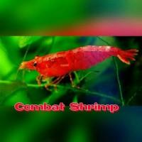 PROMO UDANG HIAS RED CHERRY TERMURAH - COMBAT SHRIMP
