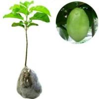 Bibit buah markisa Giant
