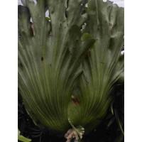 Platycerium Coronarium Murah