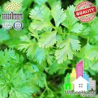HERBS - Benih Herba CLIANTRO Spanish Green Aroma IMPORT UK Coriander