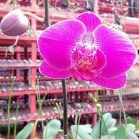 Bibit Tanaman Bunga Anggrek Bulan Ungu