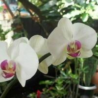Bibit Tanaman Bunga Anggrek Bulan Putih Ungu
