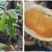 Bibit Durian Hitam Unggul