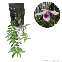 Dendrobium Anosmum Alba Limited